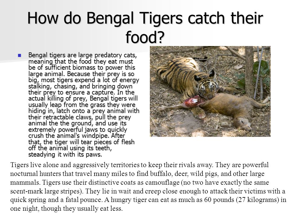 How do Bengal Tigers catch their food