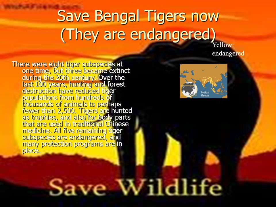 Save Bengal Tigers now (They are endangered)