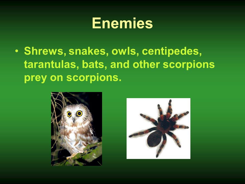 Enemies Shrews, snakes, owls, centipedes, tarantulas, bats, and other scorpions prey on scorpions.