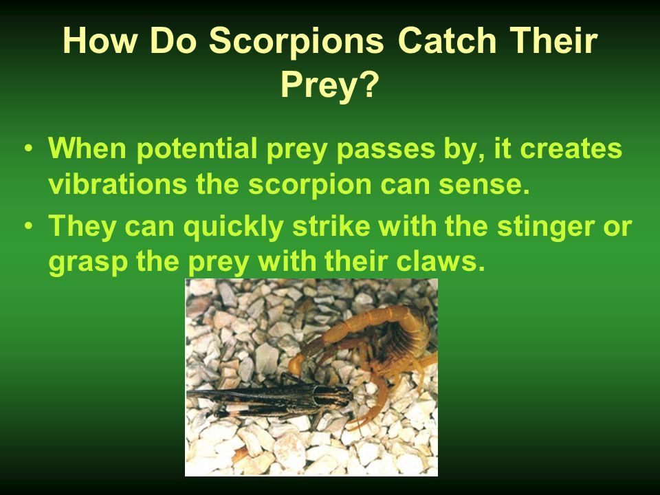 How Do Scorpions Catch Their Prey