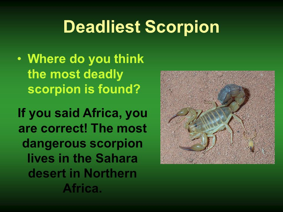 Deadliest Scorpion Where do you think the most deadly scorpion is found
