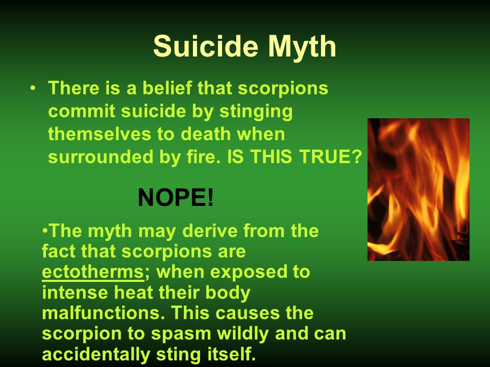 Suicide Myth There is a belief that scorpions commit suicide by stinging themselves to death when surrounded by fire. IS THIS TRUE
