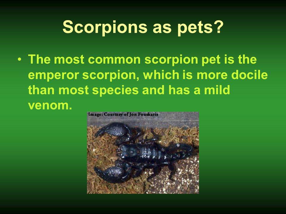 Scorpions as pets The most common scorpion pet is the emperor scorpion, which is more docile than most species and has a mild venom.