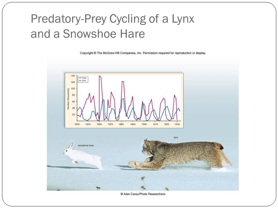 Predatory-Prey Cycling of a Lynx and a Snowshoe Hare