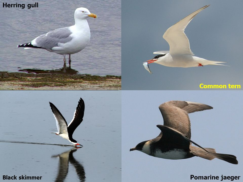 Herring gull Common tern Black skimmer Pomarine jaeger
