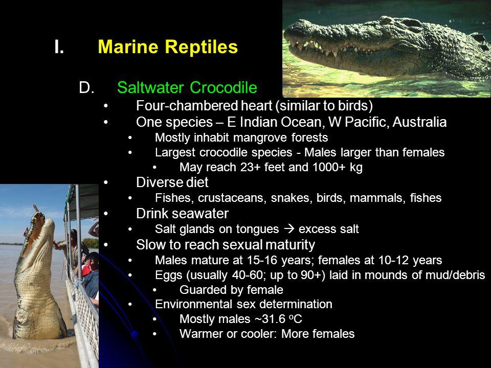 Marine Reptiles Saltwater Crocodile