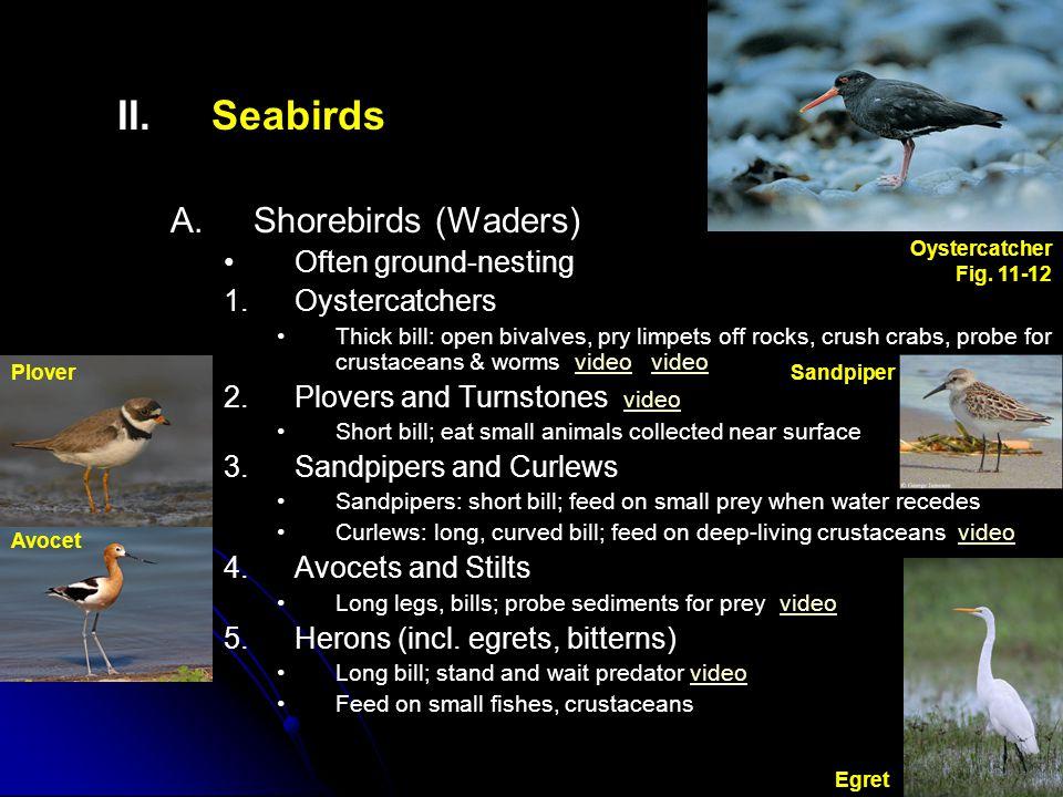 Seabirds Shorebirds (Waders) Often ground-nesting Oystercatchers