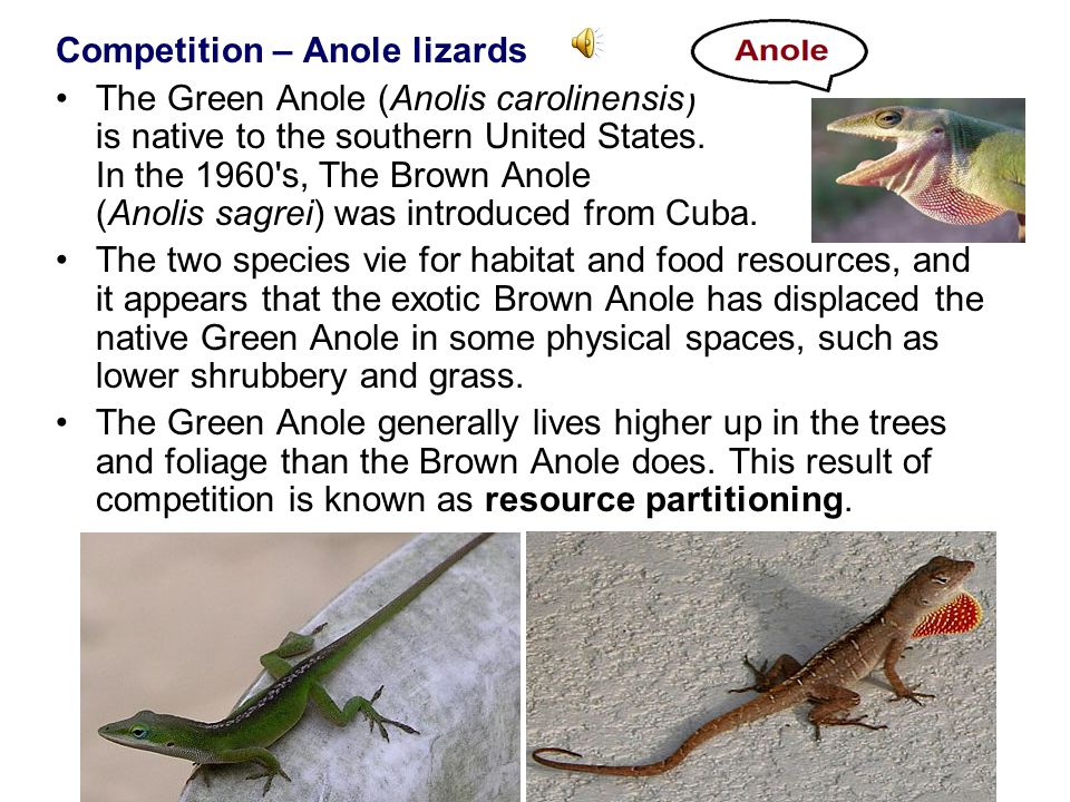 Competition – Anole lizards