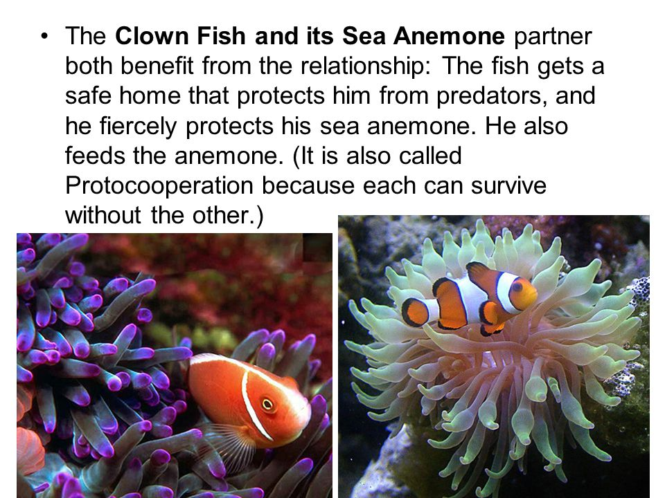 The Clown Fish and its Sea Anemone partner both benefit from the relationship: The fish gets a safe home that protects him from predators, and he fiercely protects his sea anemone.