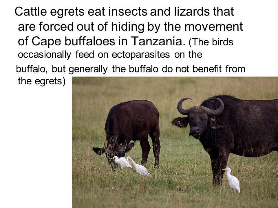 Cattle egrets eat insects and lizards that are forced out of hiding by the movement of Cape buffaloes in Tanzania. (The birds occasionally feed on ectoparasites on the