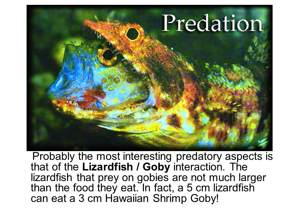 Probably the most interesting predatory aspects is that of the Lizardfish / Goby interaction.