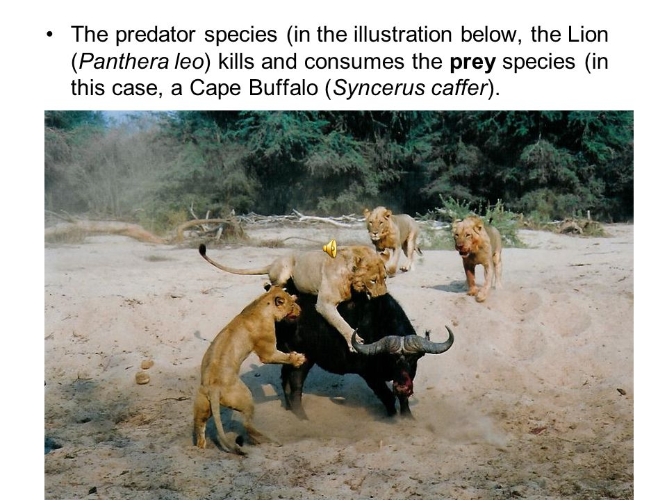 The predator species (in the illustration below, the Lion (Panthera leo) kills and consumes the prey species (in this case, a Cape Buffalo (Syncerus caffer).