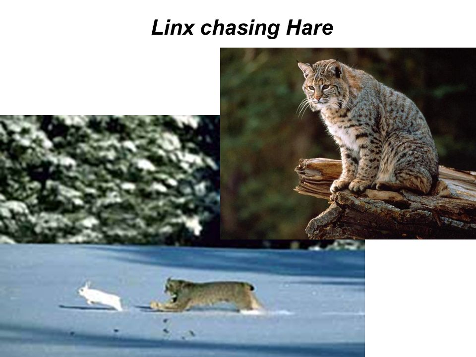 Linx chasing Hare