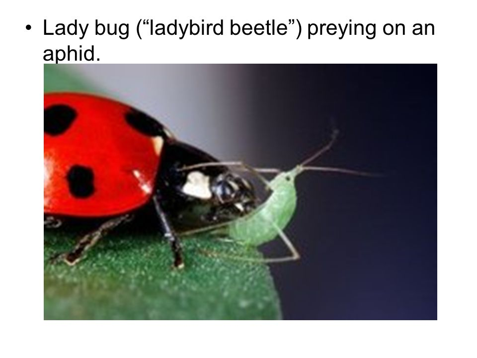 Lady bug ( ladybird beetle ) preying on an aphid.