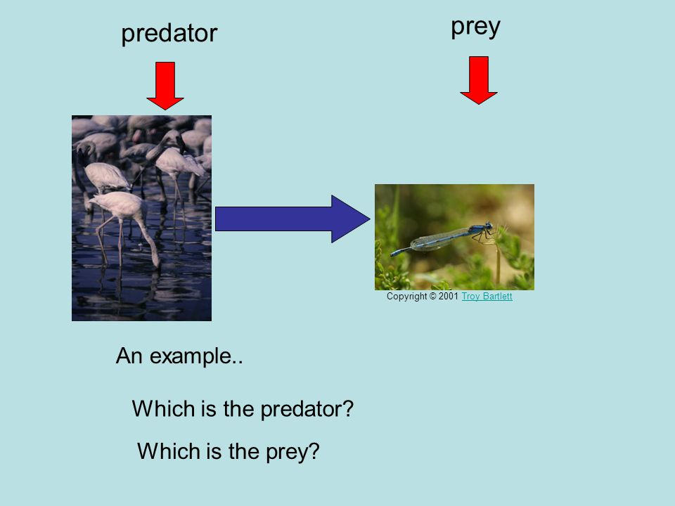 prey predator An example.. Which is the predator Which is the prey
