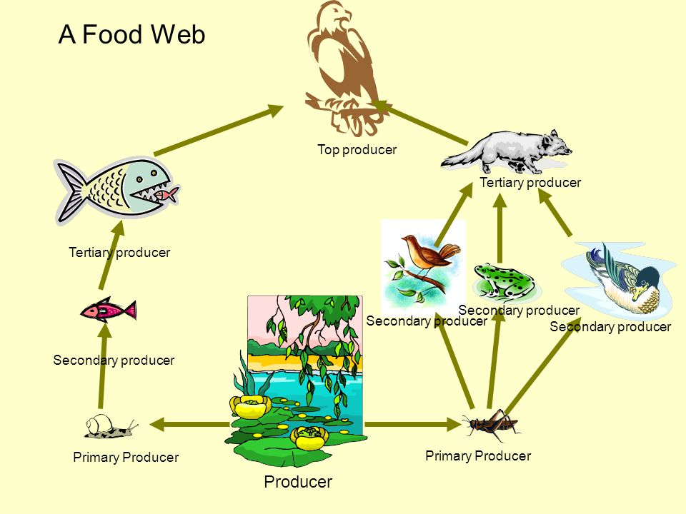 A Food Web Producer Top producer Tertiary producer Tertiary producer