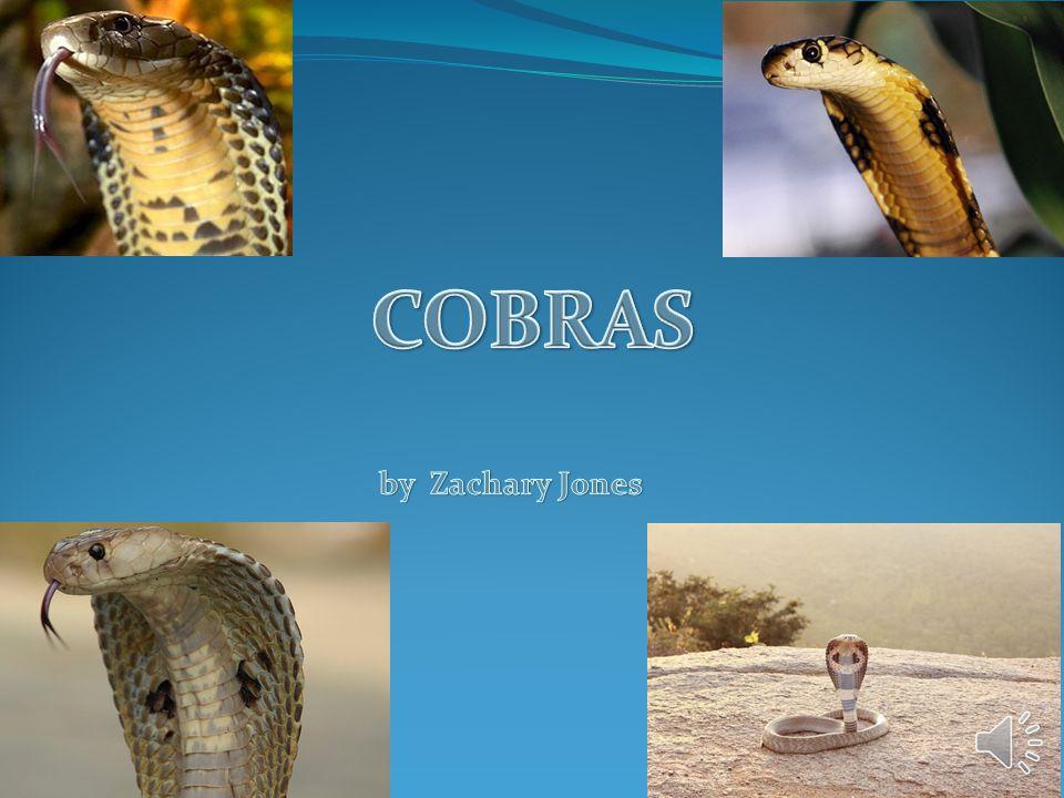 COBRAS by Zachary Jones