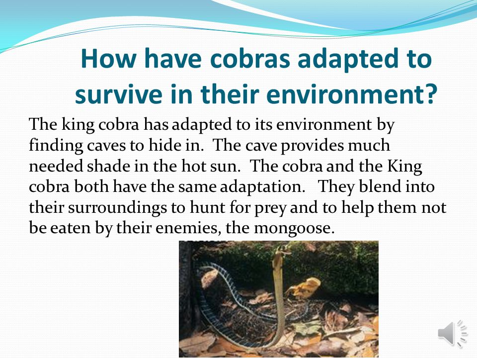How have cobras adapted to survive in their environment