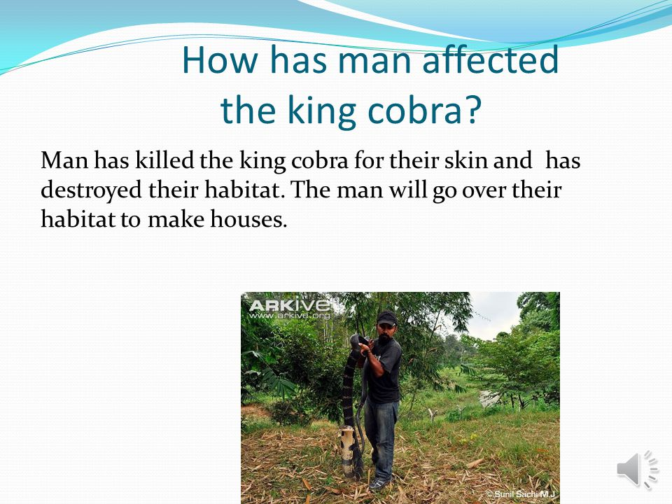 How has man affected the king cobra