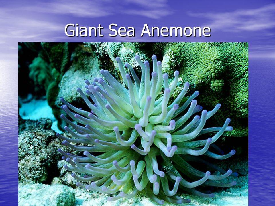 Giant Sea Anemone