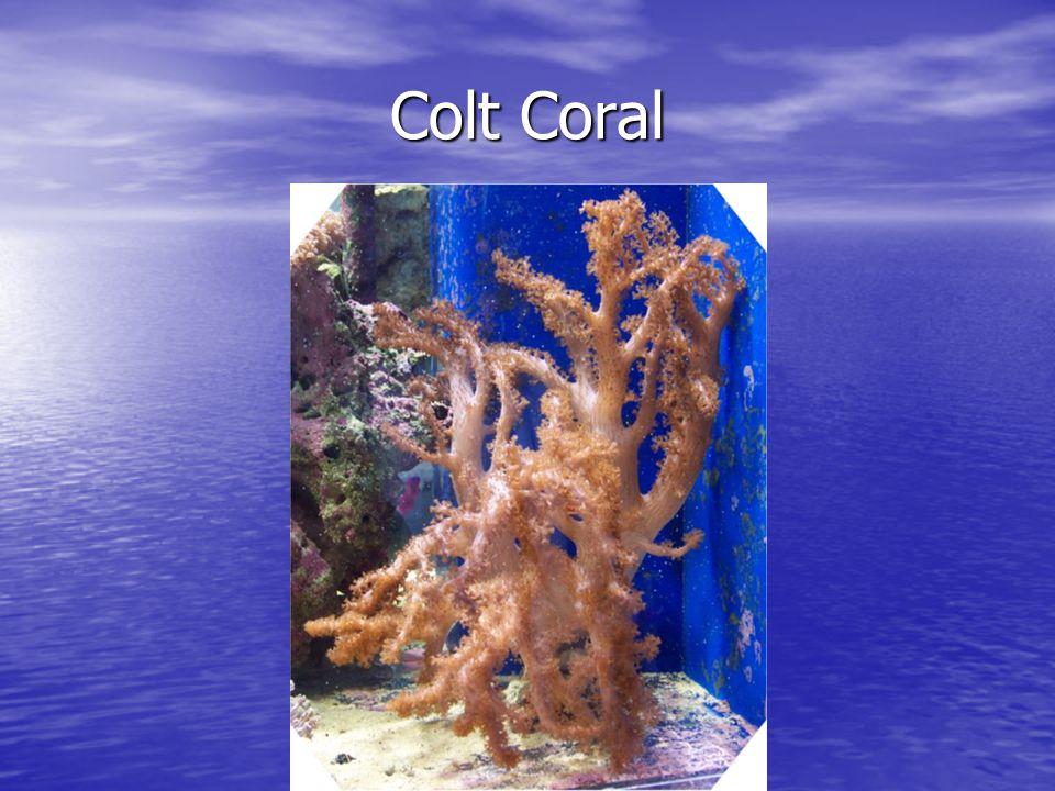 Colt Coral