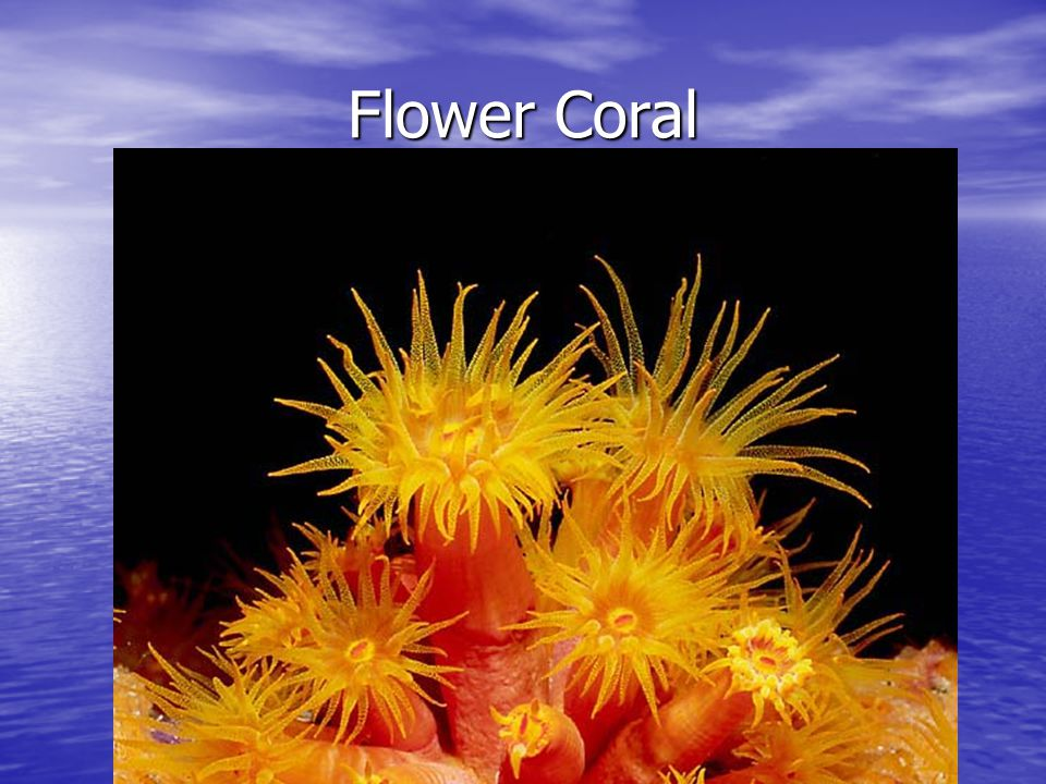 Flower Coral