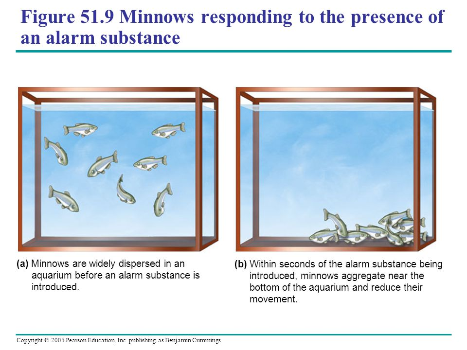 Figure 51.9 Minnows responding to the presence of an alarm substance