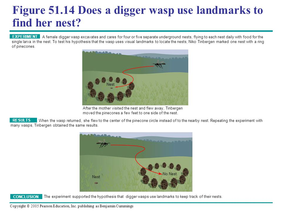 Figure 51.14 Does a digger wasp use landmarks to find her nest