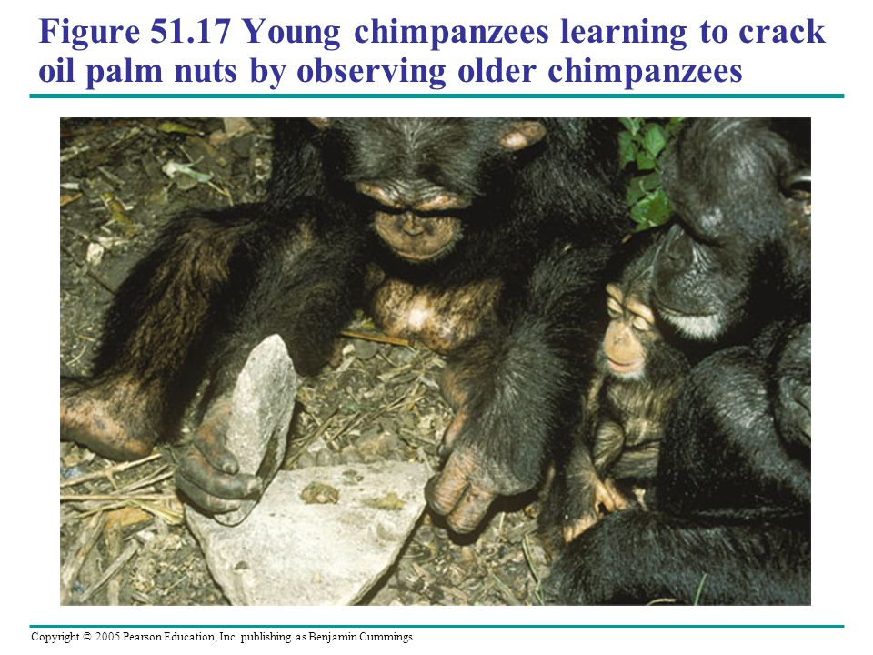 Figure 51.17 Young chimpanzees learning to crack oil palm nuts by observing older chimpanzees