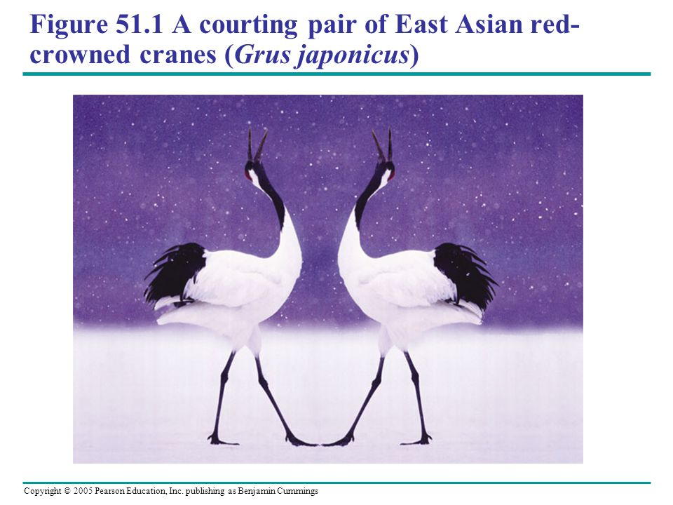 Figure 51.1 A courting pair of East Asian red-crowned cranes (Grus japonicus)