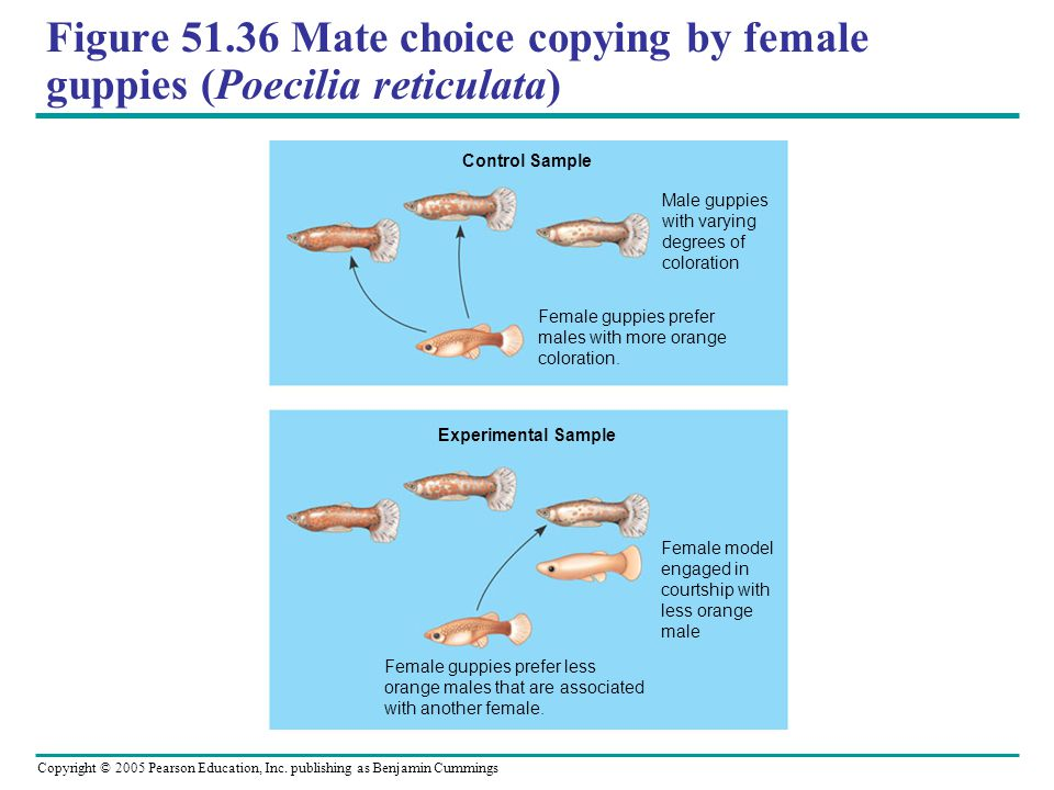 Figure 51.36 Mate choice copying by female guppies (Poecilia reticulata)