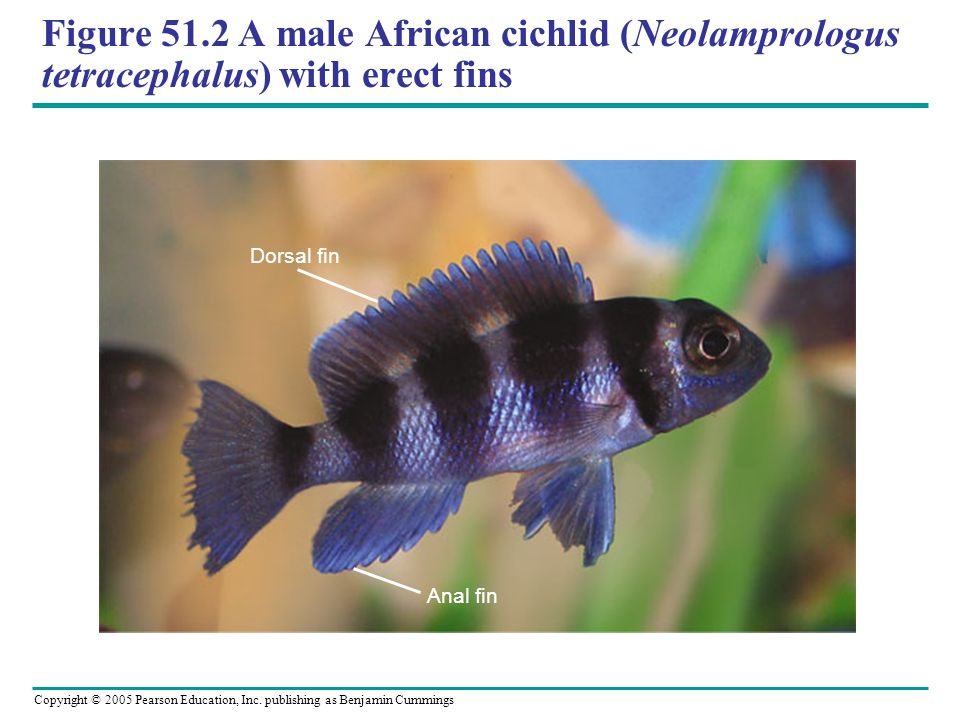 Figure 51.2 A male African cichlid (Neolamprologus tetracephalus) with erect fins