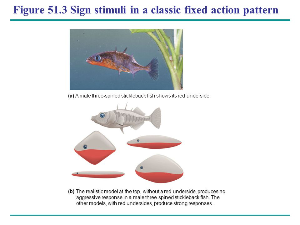 Figure 51.3 Sign stimuli in a classic fixed action pattern