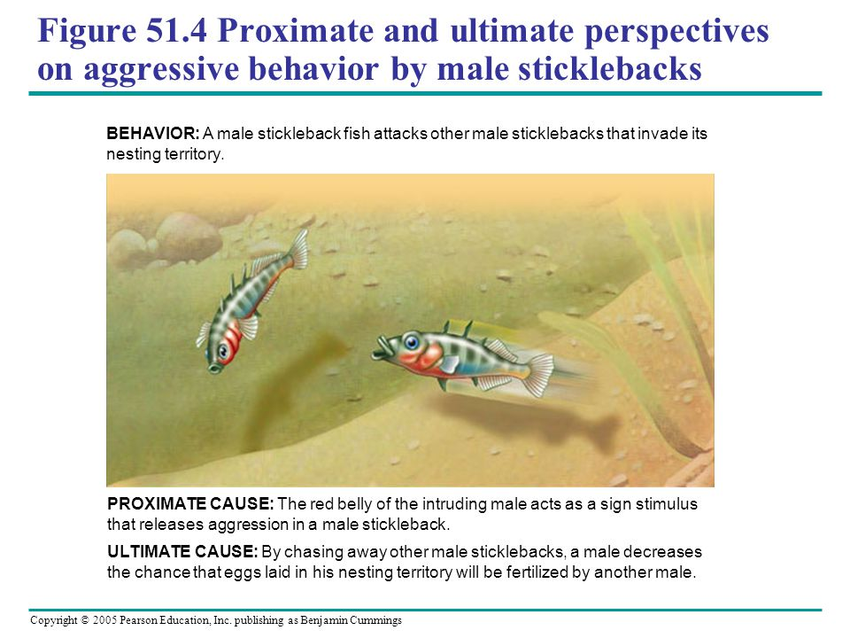Figure 51.4 Proximate and ultimate perspectives on aggressive behavior by male sticklebacks