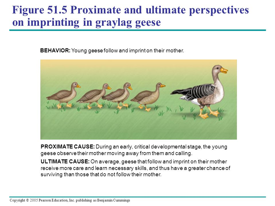 Figure 51.5 Proximate and ultimate perspectives on imprinting in graylag geese