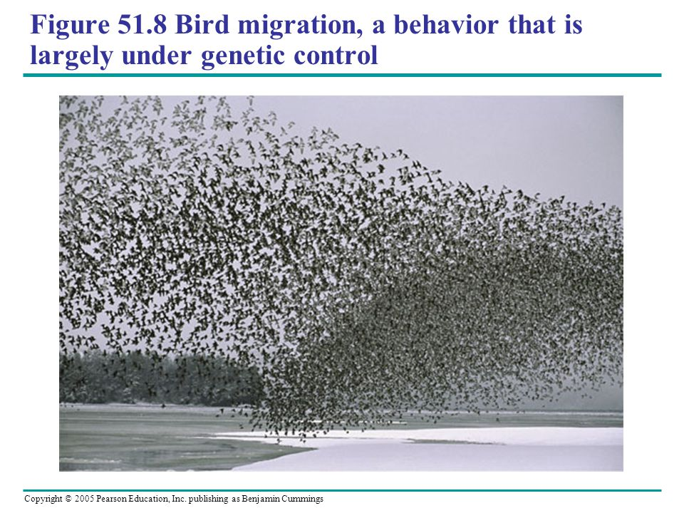 Figure 51.8 Bird migration, a behavior that is largely under genetic control