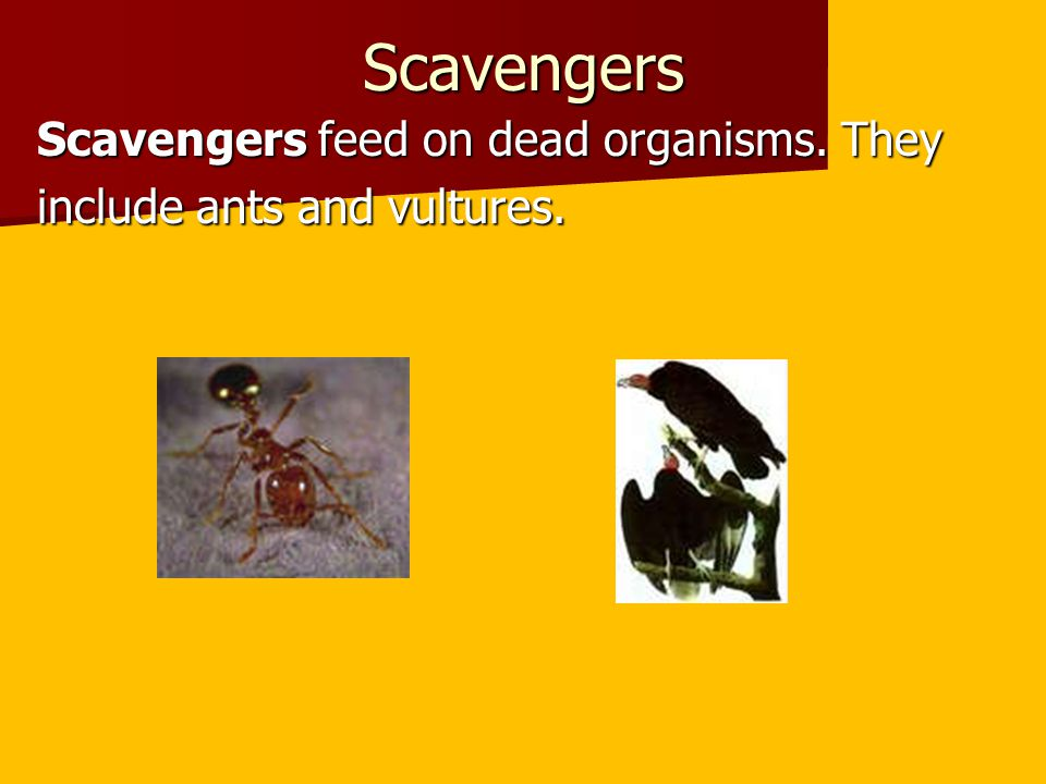 Scavengers Scavengers feed on dead organisms. They