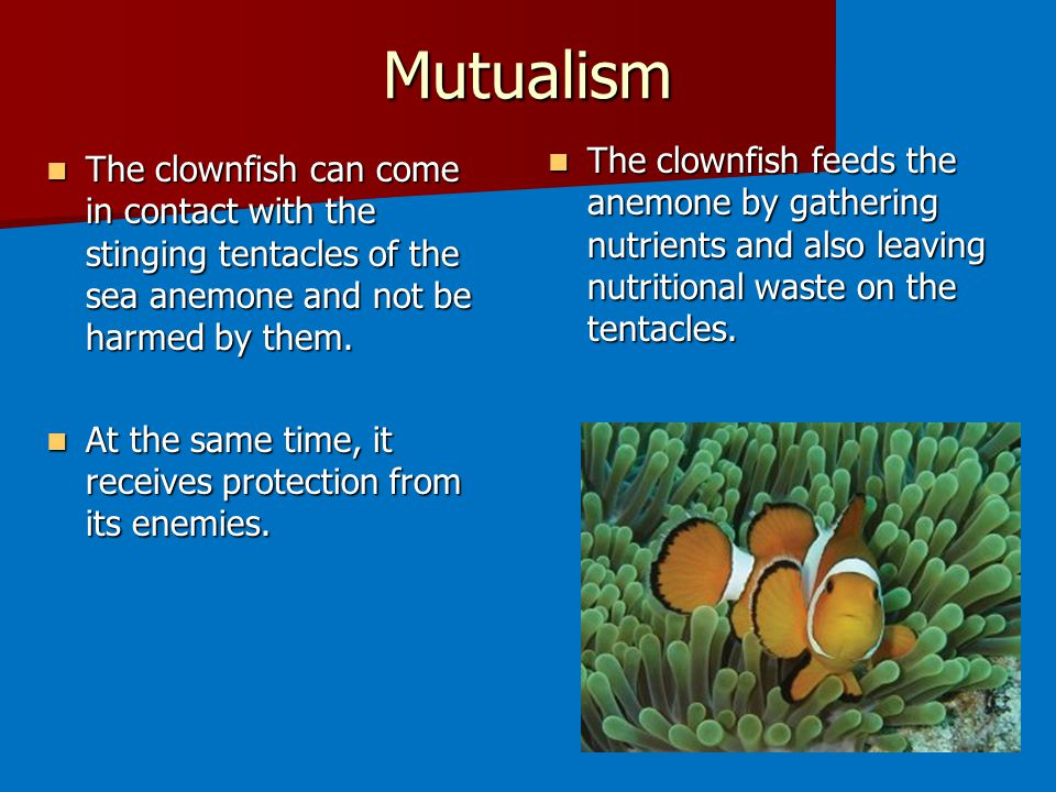 Mutualism The clownfish feeds the anemone by gathering nutrients and also leaving nutritional waste on the tentacles.