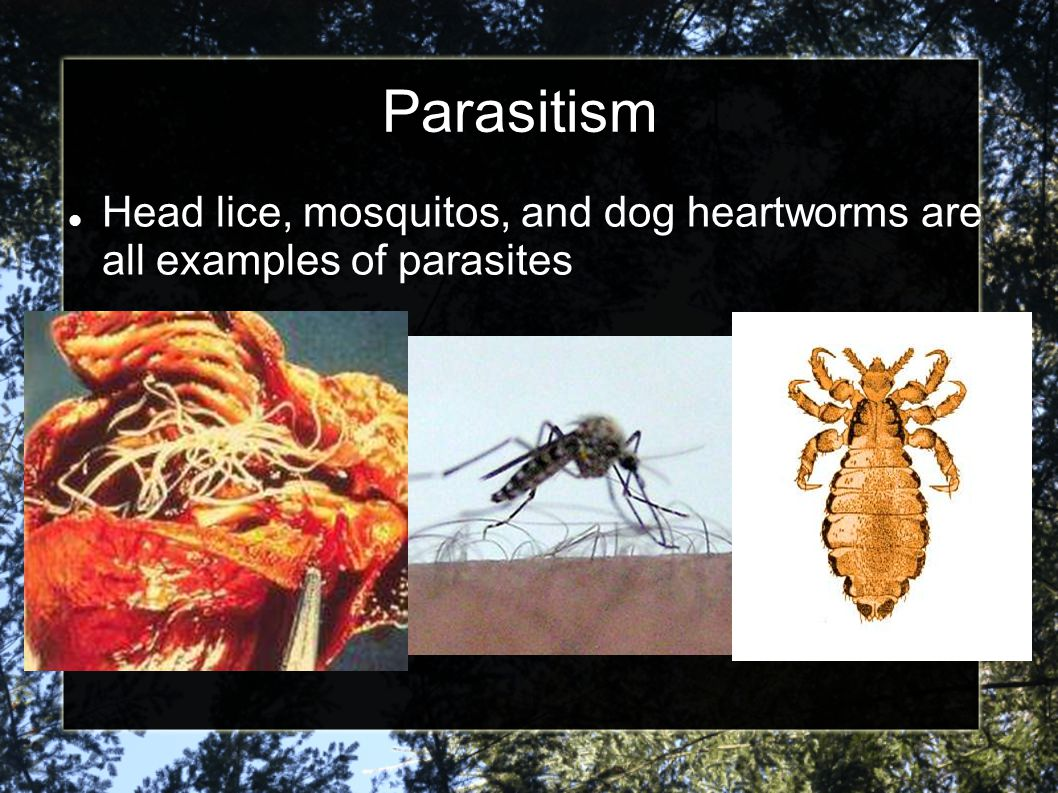 Parasitism Head lice, mosquitos, and dog heartworms are all examples of parasites