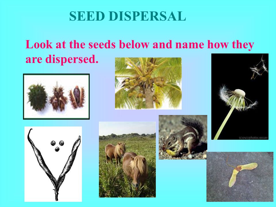 SEED DISPERSAL Look at the seeds below and name how they