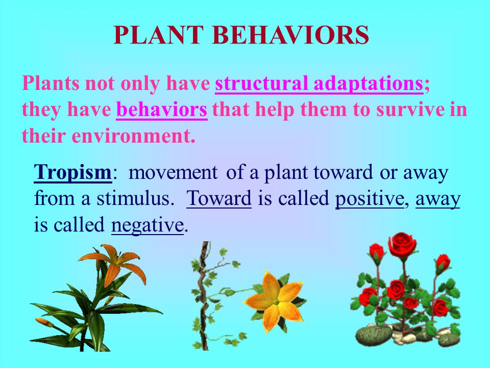 PLANT BEHAVIORS Plants not only have structural adaptations; they have behaviors that help them to survive in their environment.