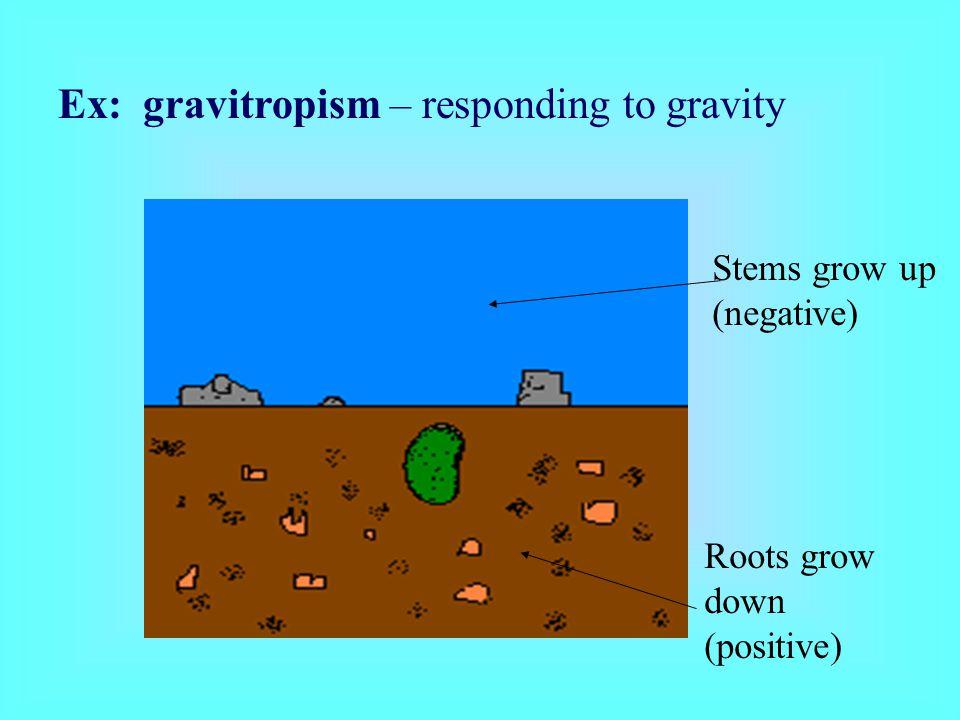 Ex: gravitropism – responding to gravity