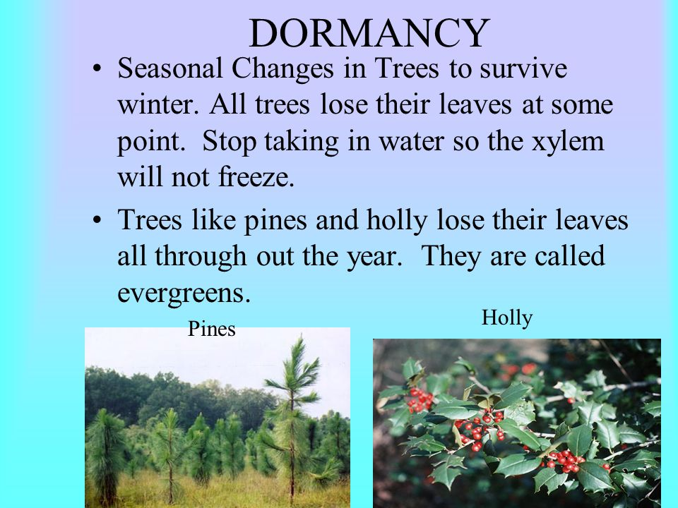 DORMANCY Seasonal Changes in Trees to survive winter. All trees lose their leaves at some point. Stop taking in water so the xylem will not freeze.