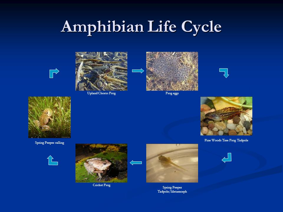 Amphibian Life Cycle Upland Chorus Frog. Frog eggs. Spring Peeper calling. Cricket Frog. Spring Peeper Tadpole/Metamorph.