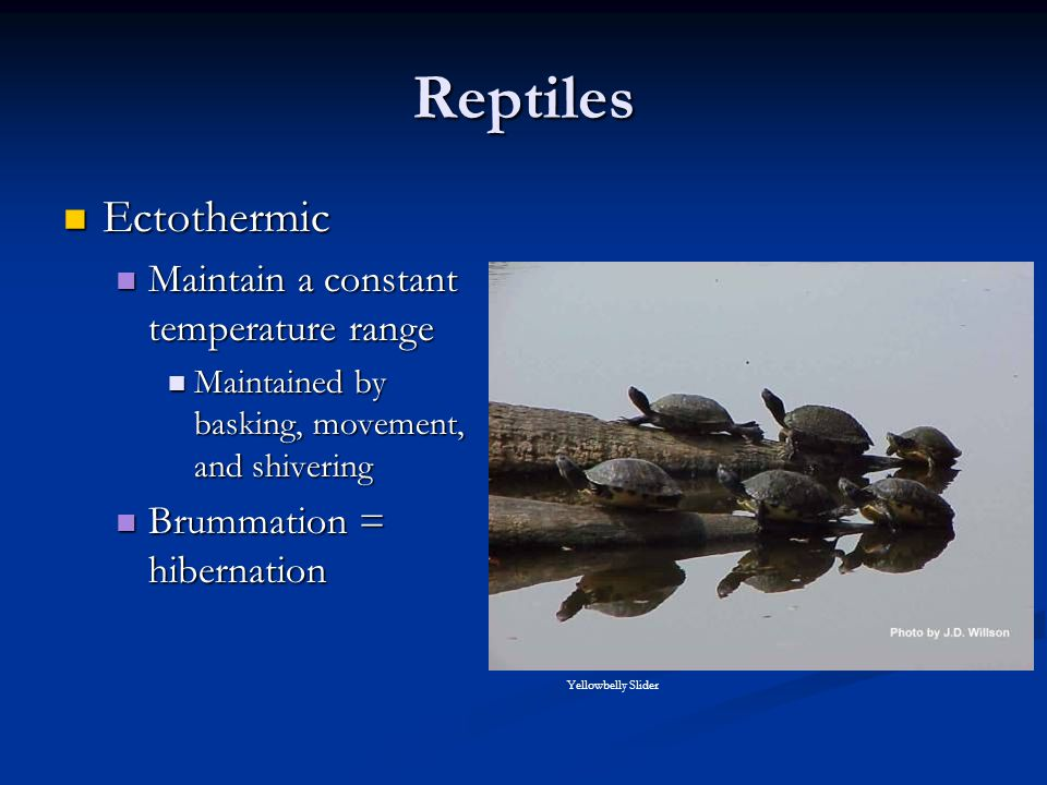 Reptiles Ectothermic Maintain a constant temperature range