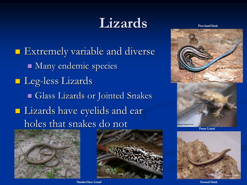 Lizards Extremely variable and diverse Leg-less Lizards