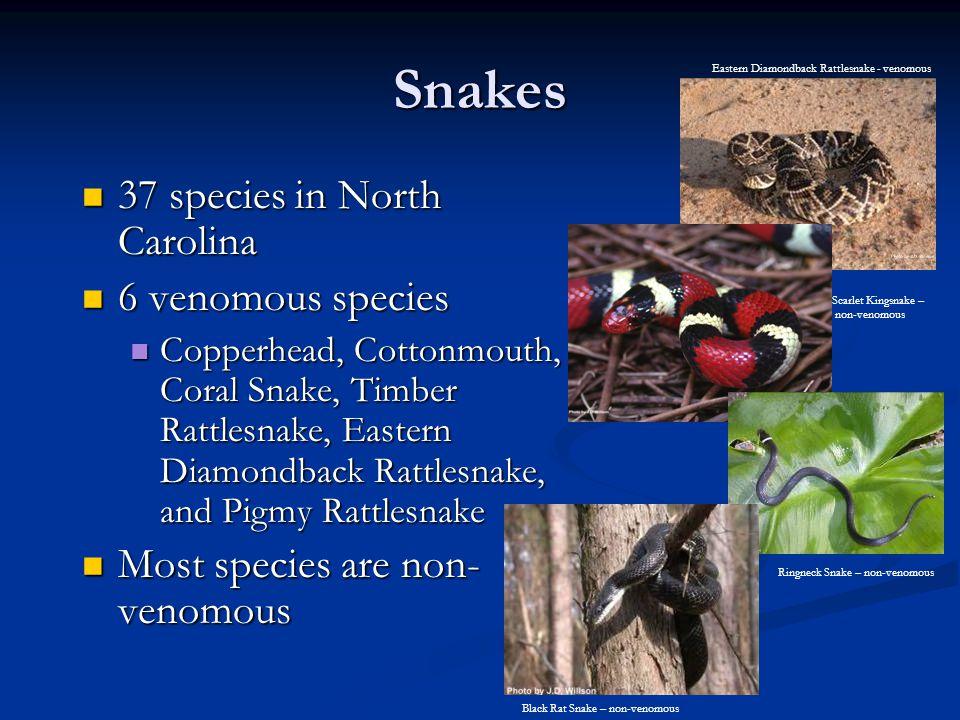 Snakes 37 species in North Carolina 6 venomous species