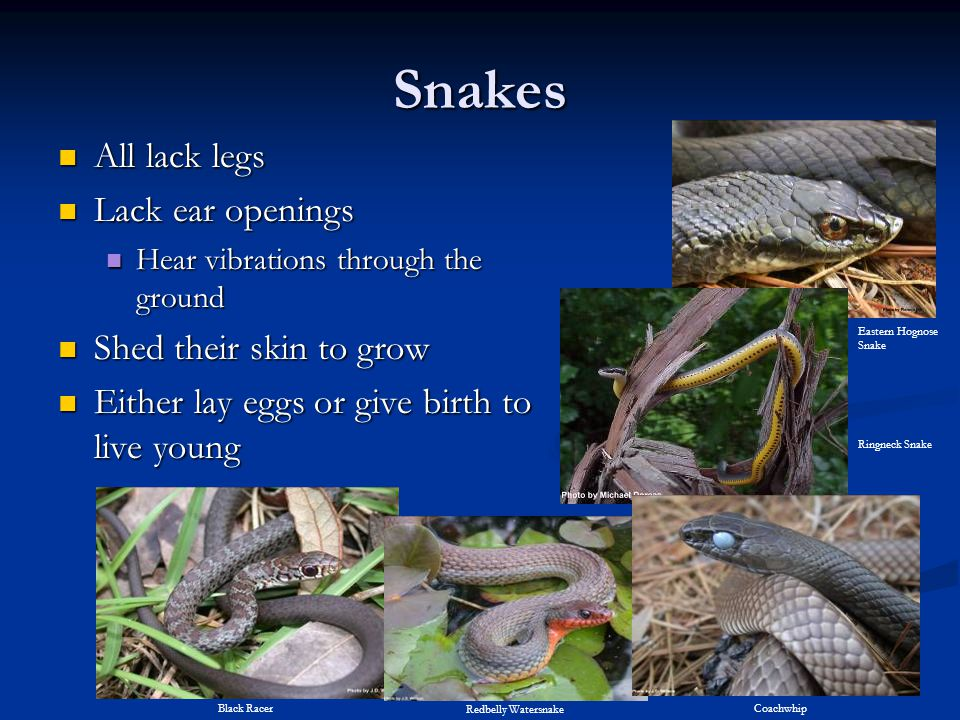 Snakes All lack legs Lack ear openings Shed their skin to grow