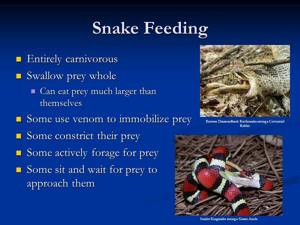 Snake Feeding Entirely carnivorous Swallow prey whole