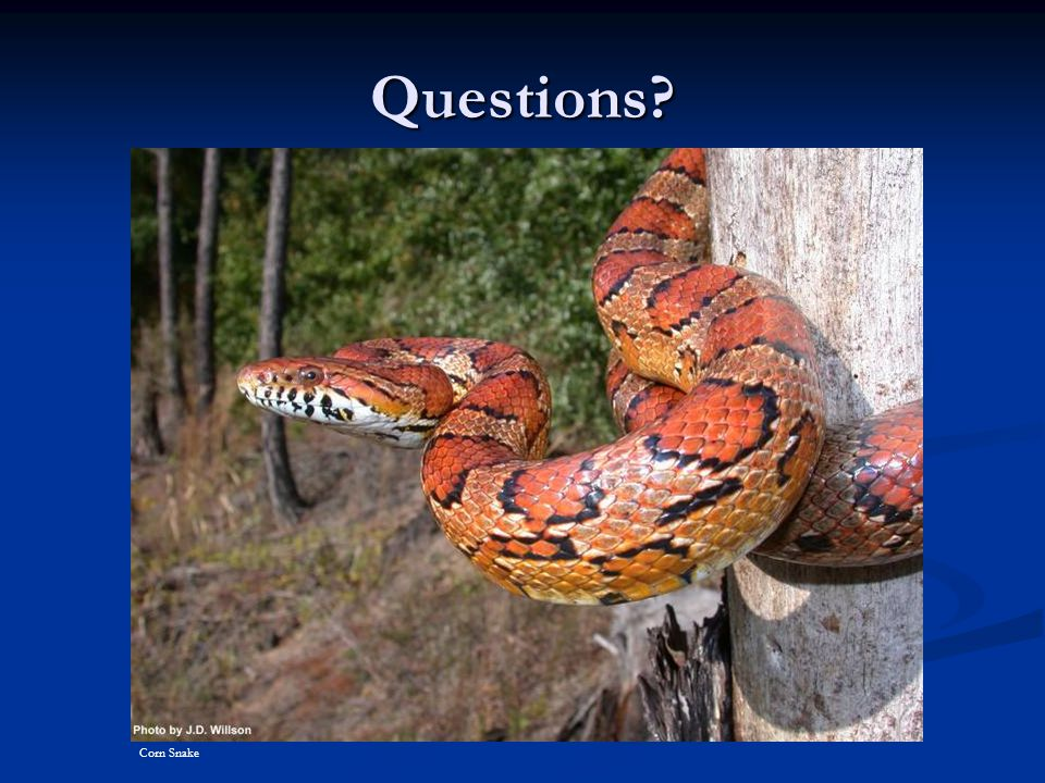 Questions Corn Snake Corn Snake